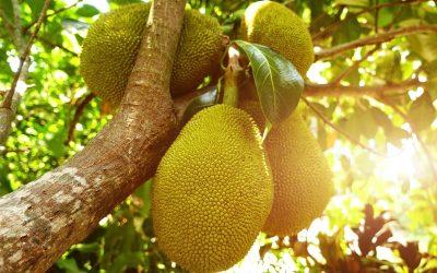 Jackfruit: de tropische vleesvervanger